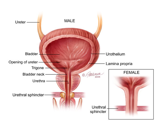 Bladder, urology